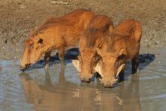 饮用的warthogs 库存图片