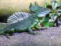饰以羽毛的蛇怪蛇怪plumifrons、绿色蛇怪、双重有顶饰蛇怪、耶稣基督蜥蜴或者Stirnlappenbasilisk 免版税库存图片