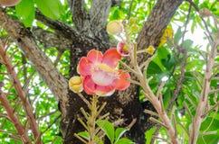 饱满的浓脂树, Gaertn花在泰国 免版税库存图片