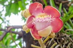 饱满的浓脂树, Gaertn花在泰国 免版税库存照片