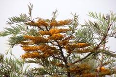 饱满的Grevillea,银桦树,澳大利亚银色橡木 免版税图库摄影