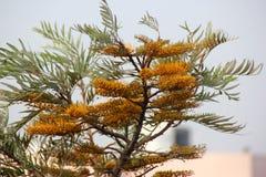 饱满的Grevillea,银桦树,澳大利亚银色橡木 免版税库存照片