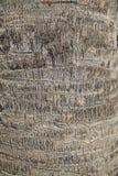 饱满的Washingtonia,树的纹理 免版税图库摄影