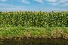 饲料玉米增长在垄沟边缘 免版税库存照片