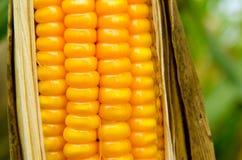 饲料玉米干燥在领域 图库摄影