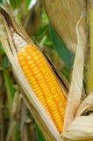 饲料玉米干燥在领域 免版税库存图片