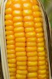 饲料玉米干燥在领域 免版税库存照片