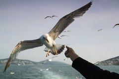 饲料的海鸥飞行 图库摄影