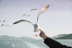 饲料的海鸥飞行 免版税图库摄影