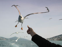 饲料的海鸥飞行 免版税库存照片