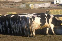饲养时间的,点雷耶斯,加州奶牛场 免版税库存图片