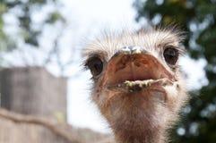 饶舌的驼鸟 免版税库存图片