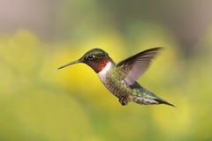 馈电线红喉刺莺蜂鸟的红宝石 库存照片