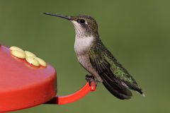 馈电线红喉刺莺蜂鸟的红宝石 图库摄影