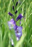 首先在领域的充分开花的紫色剑兰花的年轻人 库存图片