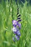 首先在领域的充分开花的紫色剑兰花的年轻人 免版税图库摄影