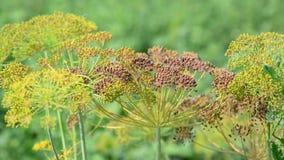 茴香伞与种子的在8月 影视素材