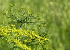 茴香在庭院里 免版税图库摄影