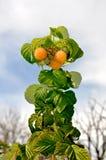 香宾莓 免版税库存图片