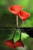 香宾蘑菇 免版税库存图片