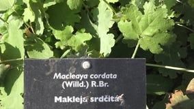 香料和草本 亦称博落回属cordata在夏天,装饰庭园花木羽毛鸦片 股票录像