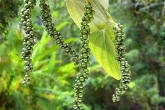 香料胡椒在植物的四茎 库存图片