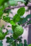 香柠檬食用类似石灰坚固性皮肤的深绿果子 免版税图库摄影