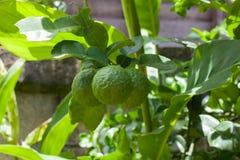 香柠檬(非洲黑人石灰) 库存图片