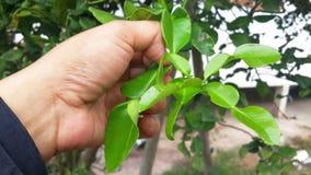 香柠檬leaf_1 库存图片