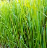 香根草草刀片生气勃勃嫩绿的绿色  免版税库存照片