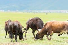香格里拉,中国- 2014年7月31日:在Napa湖的母牛 著名土地 免版税图库摄影