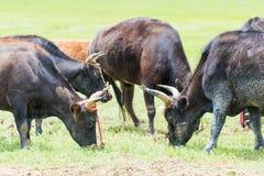香格里拉,中国- 2014年7月31日:在Napa湖的母牛 著名土地 免版税库存图片