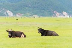 香格里拉,中国- 2014年7月31日:在Napa湖的母牛 著名土地 库存照片