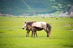 香格里拉,中国- 2014年7月31日:在Napa湖的马 一著名la 库存图片