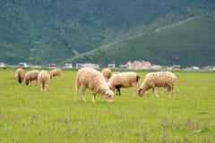 香格里拉,中国- 2014年7月31日:在Napa湖的绵羊 一著名la 库存图片