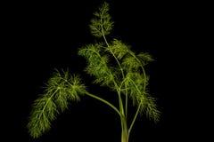 茴香植物 库存图片