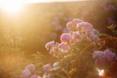 香水月季领域 图库摄影