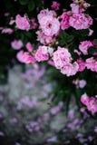 香水月季领域 库存图片