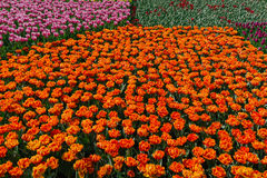 香港花卉展览的花海 免版税库存图片