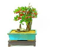 香港金桔盆景植物用果子 免版税库存照片