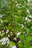 香火灌木iboza里帕里亚绿色叶子留给芳香 库存照片
