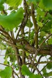 香火灌木iboza里帕里亚绿色叶子留给芳香 免版税库存照片