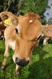 香的小牛 库存照片