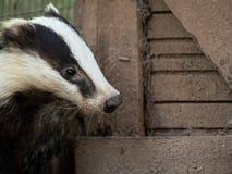 香的獾獾属獾属在乡间别墅里 库存照片