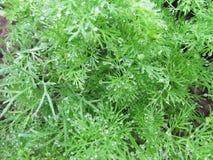 从茴香的绿色背景在菜园分支 免版税图库摄影