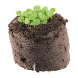 香脂薄菏与两片绿色盾状体叶子和小真实的叶子的迈利萨角officinalis幼木在土壤土块  库存照片