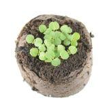 香脂薄菏与两片绿色盾状体叶子和小真实的叶子的迈利萨角officinalis幼木在土壤土块  库存图片