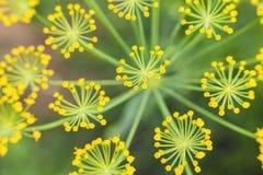 香芹籽植物黄色 免版税库存图片