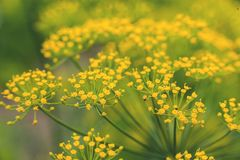 香芹籽植物黄色 免版税图库摄影