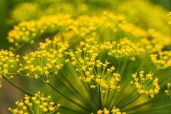 香芹籽植物黄色 库存图片